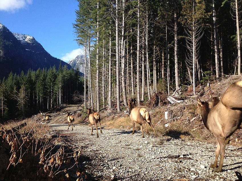 Elk charge out of the truck at the release site near Chehalis, BC. This translocation was part of the Coastal Mainland Roosevelt Elk Recovery and Management Project. Photo: Dan Kriss
